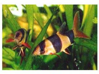 Botia macracantha
