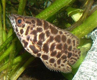 Ikan Daun (Ctenopoma)
