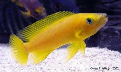 Leuleupi, Lemon Cichlid( Neolamprologus leleupi Poll. 1956)