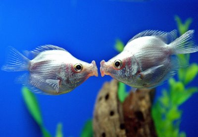 Kissing Fish
