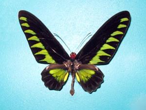 Kupu-kupu Raja Brooke