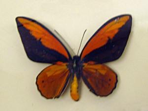 Kupu-kupu Raja Croesus (jantan)