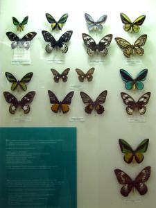 Kupu-kupu yang dilindungi undang-undang