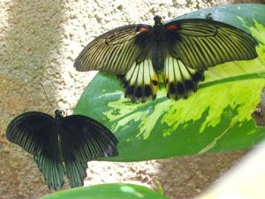 Sepasang kupu-kupu Great Mormon