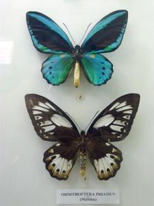 Ornithoptera priamus (atas: jantan)