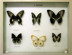 Kupu-kupu Pulau Seram