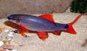 Red Fin